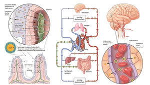 Vitals Curcumine-SLCP opname in lichaam